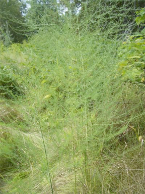 An asparagus patch growing in Arrowhead. Photo courtesy of the Arrowhead Conservation Society