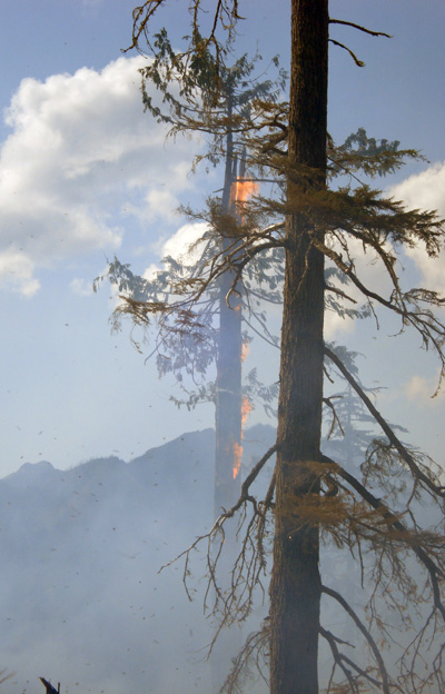 A cedar tree candles at the Perry River Fire. Photo courtesy of Ben Parsons