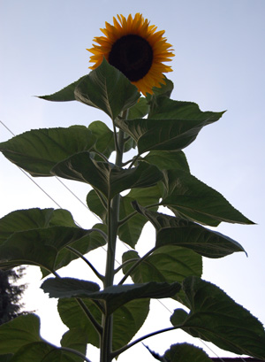 This sunflower in John Augustyn's backyard is easily more than four metres tall. David F. Rooney photo