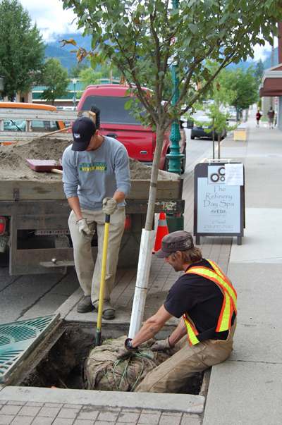 Public Works employees Blake Bara (left) and Matt McCao plant a Japanese elm on Second Street West, one of many decorative new trees being planted in the wake of the Grizzly Plaza Extension Project. McCao said the trees are resistant to the Dutch Elm Disease that has ravaged other varieties of elm over the last several decades. David F. Rooney photo