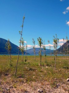 Cottonwood growing stakes in the drawdown zone. Photo courtesy of BC Hydro