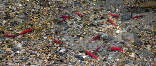 The glowing jewel-like red fish are the real stars of the annual Kokanee Fish Festival. David F. Rooney photo