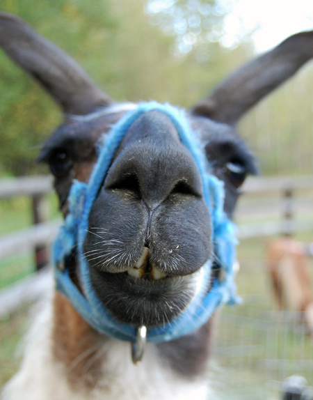 Sonny the llama was very curious about the camera that was pointed in his direction. David F. Rooney photo