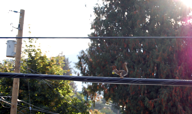 Keeping to his high-wire highway Mr. Squirrel avoids dogs and people (though not photographers), but he does have the occasional run-in with pesky crows. Still he perseveres. David F. Rooney photo