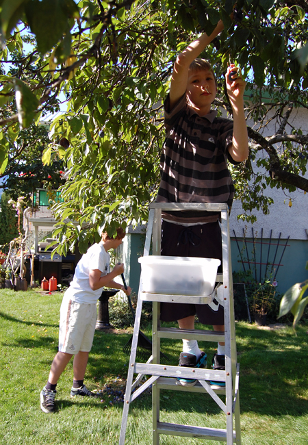Chores beckoned others, like Alex and Nicholas Saar, who picked and raked up plums in their front yard. David F. Rooney photo