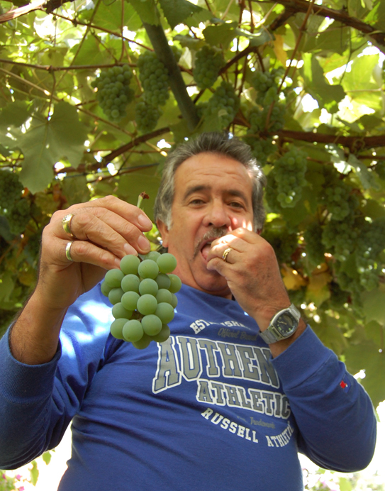 The recent good weather send Paul Suraci up a ladder to check on his grapes. His green Concords were just about perfect. David F. Rooney photo