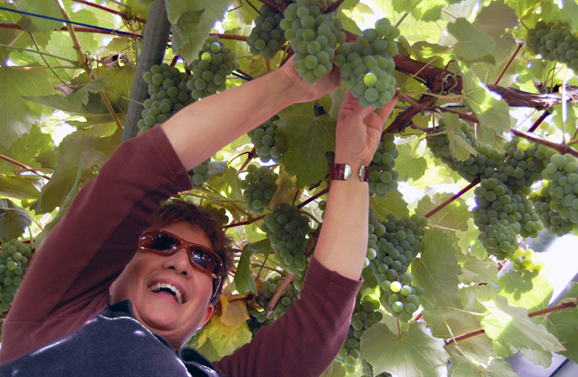 Cathy Suraci's not such a fan of Concords, bit she does like the Okanagan Sweets she and Paul cultivate in their little grape arbour. David F. Rooney photo