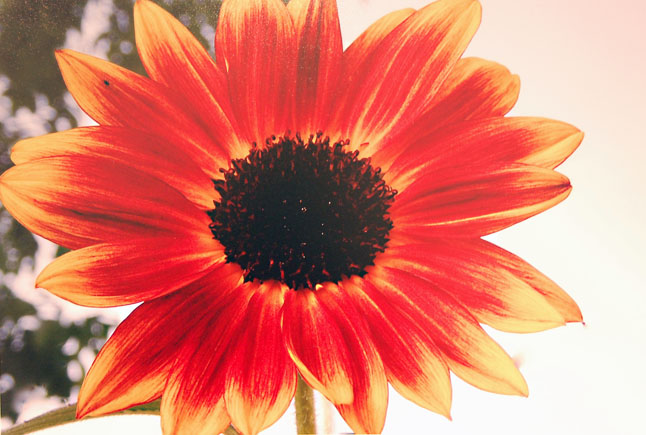 Tayla Koerber's Sunflower was the best work by a child in the Creative Images of Nature Category.