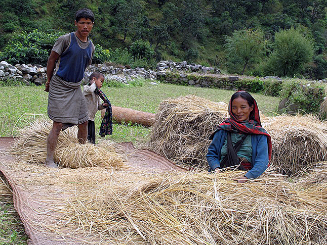 A farmer treads on rice stalks to free the precious grains in Rukum. Photo courtesy of Laura Stovel