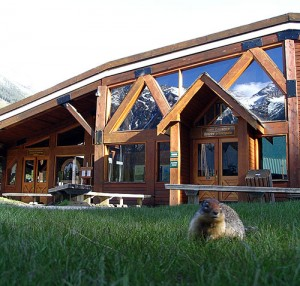 A marmot forages through the grass in front of the Glacier Circle Bookstore operated by the Friends of Mount Revelstoke and Glacier at tParks Canada's Rogers Pass Centre. The store is being closed due to a significant renovation program at the RPC, leaving the Friends in a dire financial position. Carolyn Schellenberg photo courtesy of the FMRG