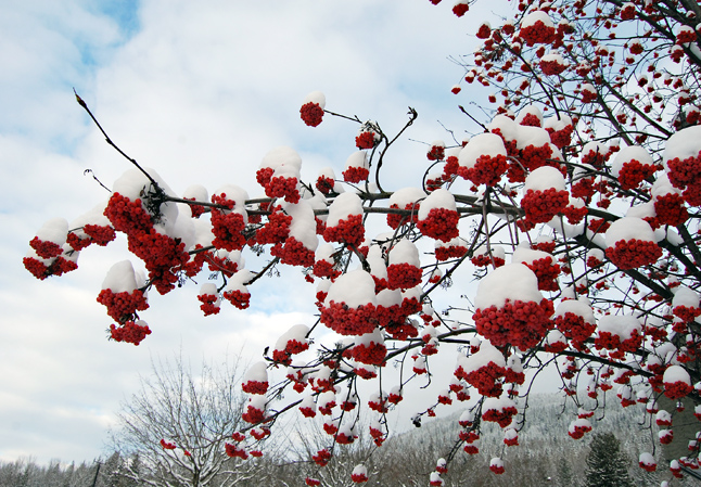 These clusters of snow-capped mountain ash berries looked like Nature's own Christmas ornaments last weekend. David F. Rooney photo