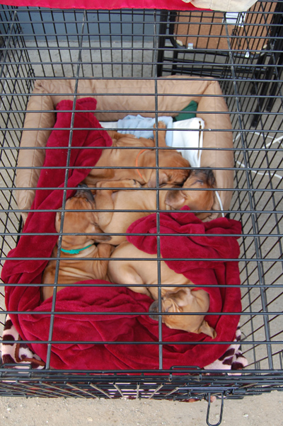 This tiny dog pile of puppies at Society Snow & Skate delighted a lot of chili diners. David F. Rooney photo