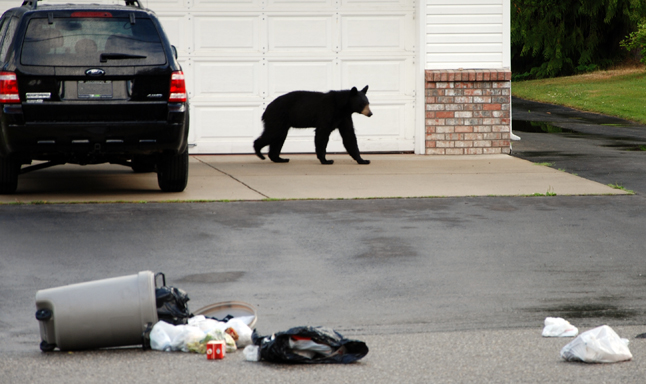 """Bears are already waking up in areas to the south of us, and soon they will be awake and looking for food in Revelstoke,"""" says a statement issued last weekend by Bear Aware Coordinator Sue Davies. This photo shows a young black bear, very early in the season. Note the slim appearance of this bear, in contrast to the fat bears we often see in the fall. This bear needs a huge amount of food to build up its fat stores before next winter and it's looking for the easiest and highest calorie foods available. Photo courtesy of Revelstoke Bear Aware"""