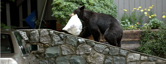 The City says that in an effort to contain human-bear conflicts — nine bears have been killed so far this year — it has increased bylaw enforcement patrols over the past month. Revelstoke Current file photo