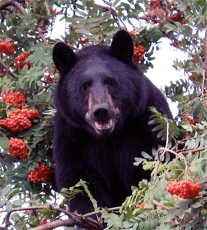 Local berry crops this year — including mountain ash berries — are excellent. That's always good news for bears, like this one photographed in a a mountain ash tree. But soon enough they'll start sauntering into town in search of high-calorie human food sources like garbage and pet food. Becky Hayward Farmer photo
