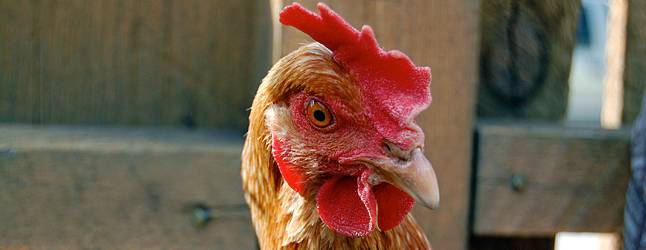 If you can't beat 'em, you might as well join 'em is the approach City Council is taking over the urban chicken issue.