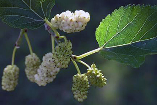 he Revelstoke Bear Aware Gleaning Project will be swinging into action this week with a white mulberry tree to harvest. If you have never tried white mulberries before, they are sweet, healthful and mild flavoured. Photo courtesy of Sue Davies