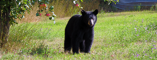 Bears. By and large it's probably fair to say that a lot of us love 'em. Some of us just tolerate 'em. But by and large most people would agree that they help keep life in our mountain town interesting. However we feel about 'em we welcome  the Bear Necessities series of events intended to celebrate our ursine neighbours and ways to live in harmony with them that is planned to begin this Wednesday, September 18. Revelstoke Current file photo