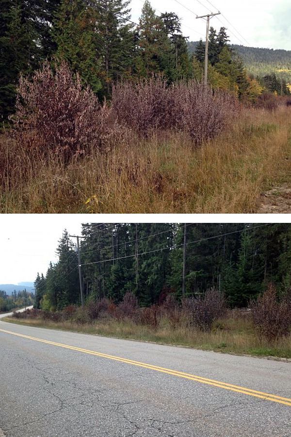If you're one of the folks who spotted dead vegetation beneath the power lines running along Westside Road and contacted The Current rest assured that you were right. BC Hydro did spray herbicides along the power lines. But it was not recent. Hefre's what BC Hydro Community Liaison Jennifer Walker-Larsen had to say: The vegetation control work along the distribution power line right of ways on Westside Road and Hwy 23 South was done quite a while ago—in mid-August, 2013. This work was follow up to mowing that was done in 2012 to control vegetation growth under the lines and involved targeted application of a selective herbicide to eliminate individual tall-growing plants along the right-of way that could would with the line if allowed to grow. Crews used backpack sprayers to individually treat the specific problem plants and posted notices along the treatment corridor for 2 weeks after the treatment. The two-step approach of mowing followed by selective herbicide application reduces the environmental impact of vegetation control by leaving low-growing shrubs, grasses, and plants that do not interfere with the power lines intact. Like other utilities in Canada, BC Hydro conducts regular vegetation control under our power lines to ensure public safety and improve reliability of service. BC Hydro's vegetation control along distribution line right-of-ways is conducted according to our BC Hydro Distribution Corridor Pest Management Plan that is advertised in local papers each year and available at https://www.bchydro.com/content/dam/hydro/medialib/internet/documents/safety/pdf/pest_management_plan.pdf. Ken Talbot photos