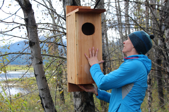 BC Hydro is helping waterfowl in the Revelstoke area by installing cavity-nesting duck nest boxes to increase nesting habitat. Between 30 and 50 boxes, one which is being examined in this photo by contractor Mandy Kellner, are being installed at suitable locations near or within the Arrow Lakes Reservoir drawdown zone (flats) from Revelstoke south to 12-mile. The creation and operation of the Arrow Lakes Reservoir limits the establishment of larger trees along the valley floor, which in turn limits the availability of suitable nesting habitat for cavity nesters. Nest boxes are widely used to enhance populations of cavity-nesting birds and occupancy rates are typically moderate to high (50 to 90%).Six species of waterfowl build their nests in tree cavities in the trunks of large coniferous or deciduous trees. The cavities are usually created by woodpeckers or from natural decay. Cavity-nesting ducks include Common Merganser (Mergus merganser), Hooded Merganser (Lophodytes cucullatus), Wood Duck (Aix sponsa), Common Golden-Eye (Bucephala clangula), Barrow Golden-Eye (Bucephala islandica), and Bufflehead (Bucephala albeola). BC Hydro would like to thank Revelstoke Secondary School wood shop students for building the nest boxes and look forward to seeing the results of their hard work next spring when the ducks come back to build their nests and raise their young. Jennifer Walker-Larsen photo