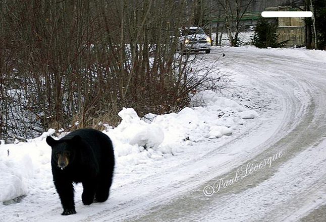 A young, motherless bear — estimated by some people who had seen it to be between one and a half and two years of age — was shot and killed in the Big Eddy on Sunday evening after it was determined it had lost all fear of humans. Paul Levesque photo