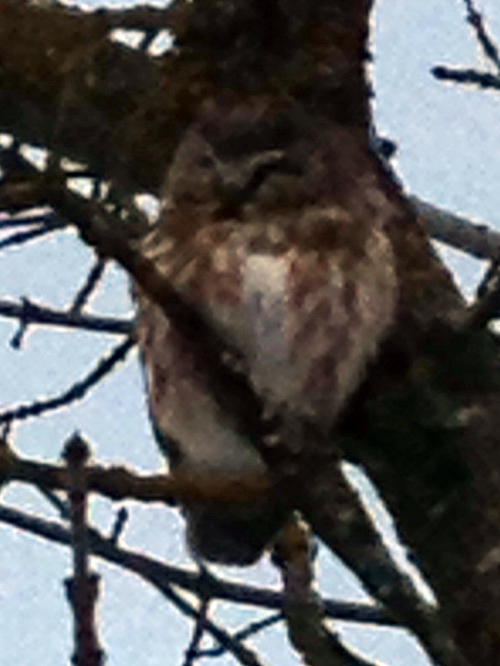 Jim Meloro was going past the Trans-Canada Gym when he spotted this feathered creature in the branches of a tree. He thinks it is a pygmy owl. I'll bet he's as anxiious for spring as the rest of Revelstoke's human and non-human population. Jim Meloro photo