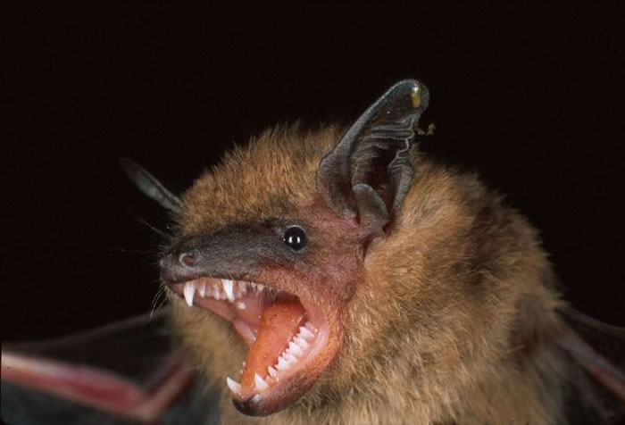 Bats. Some people think they are cute and others find them creepy. Whether you are fascinated or fearful, the bottom line is it's important to avoid coming into physical contact with bats, the primary carrier of the rabies virus in BC.
