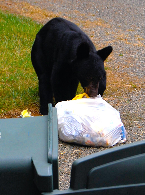 It's time for homeowners to take responsibility for securing garbage. Mark Levisay photo courtesy of WildSafe BC