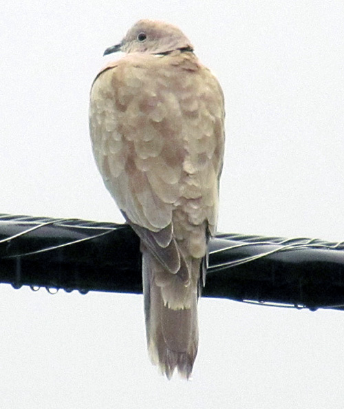 """Local resident Tom Jones saw this bird perched on a wire outside his window and wondered what it was. Retired Parks Canada biologist Michael Morris has identified it as an """"Eurasian collared dove, relatively new to North America, spreading quickly, not a problem."""" Tom Jones photo"""