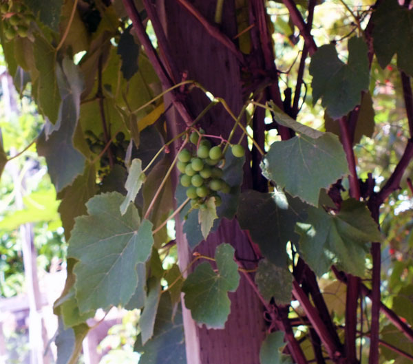 A number of gardens on the tour featured grapes! They seem to be growing in abundance and are a frost-resistant variety. An ice wine business waiting to be started, perhaps. Photo courtesy of Sarah Newton