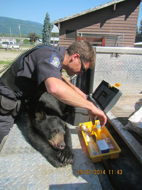 BC Conservation Officer Alex Desjardin examines the poor little cub before shipping him off to a wildlife centre juvenile rehabilitation program in Smithers. Michel Beauchemin / Parks Canada photo