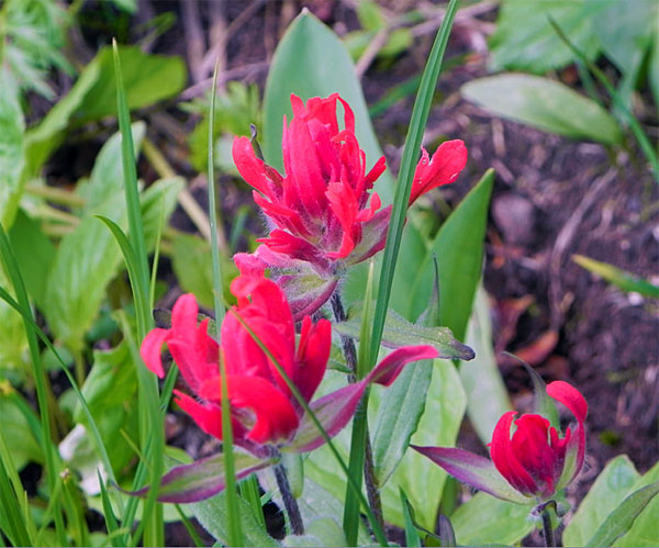Indian paintbrush was another of the flowers the hikers enjoyed. Photo courtesy of Debra McDonald