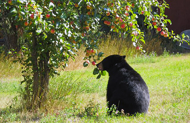 Cherry season may have come and gone but plums and apples will soon be ripening and attracting bears... perhaps to your own backyard. Louise Williams photo courtesy of WildSafeBC