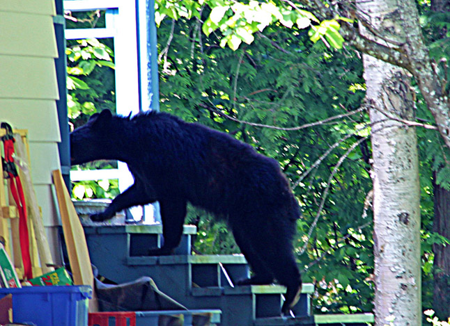 Here's a Tale of Three Bears that, while lacking Goldie Locks, certainly has a similarly unhappy outcome: According to Sue Davies, Revelstoke's WildSafeBC/Bear Aware coordinator a habituated black bear recently walked down the middle of a residential Southside street at the height of the day systematically going through garbage cans put out for collection. This probably was the same bear that attempted to enter a home earlier this month. The Conservation Officer was called and a trap was set. Within the day the bear was caught and destroyed as a problem bear, Davies said. There's more, of course... Noreen Mostert photo courtesy of Revelstoke Bear Aware