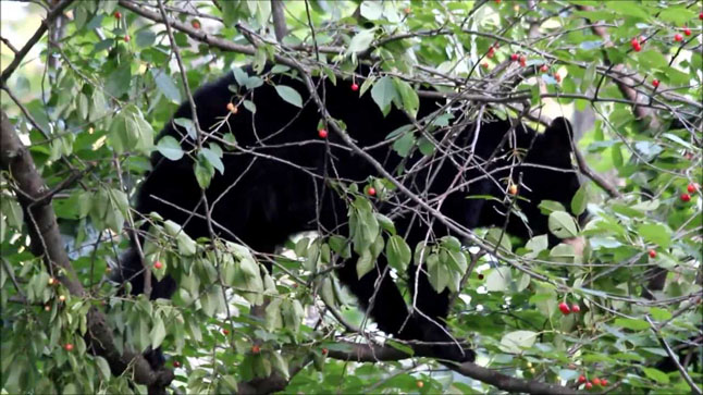 With 67 in-town bear sightings so far this year, up from 41 last year, 2014 is bound to be a banner year human-bear conflicts, says WildSafeBC coordinator Sue Davies. The increase is due, in part, to the failure of the berry crop. The other part of the equation is the failure of fruit tree owners to harvest their crops and some homeowners to secure their garbage. Photo courtesy of Revelstoke Bear Aware