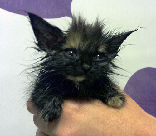 Isn't this bedraggled-looking little girl cute? Her name, appropriately enough, is Precious and she's one of the horde of new kittens the Revelstoke & District Humane Society hope to place with caring families. David F. Rooney photo