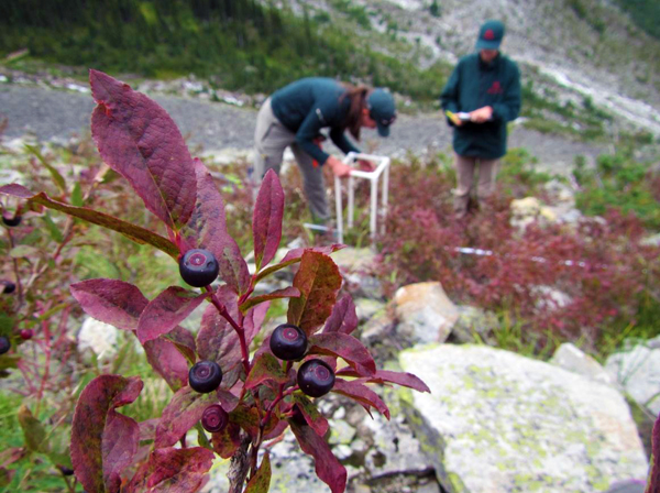 Black huckleberry, Vaccinium membranaceum. Natalie Stafl/Parks Canada photo