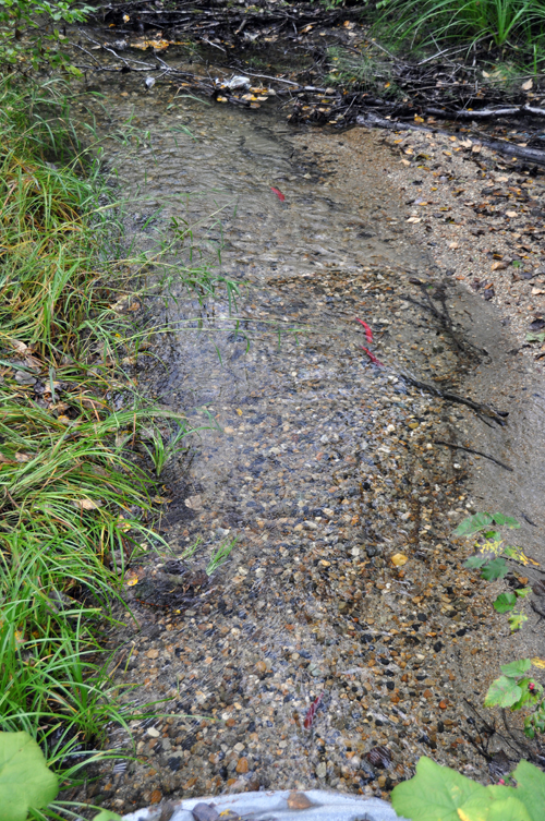 Small, ruby-coloured Kokanee  swim against the current in Bridge Creek by the culvert under the Powerhouse Road. These are the first Kokanee seen in the creek in three years. David F. Rooney photo.