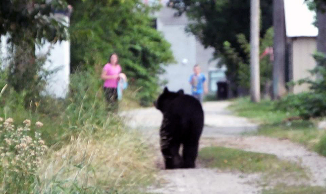 This image may be slightly out of focus but it is nonetheless an arresting photo because it captures a surprise alley-way encounter between a black bear and a woman and child. The bears are hungry right now because the berry crop has failed in many parts of our region, driving them into town in search of food. Bob Gardali photo