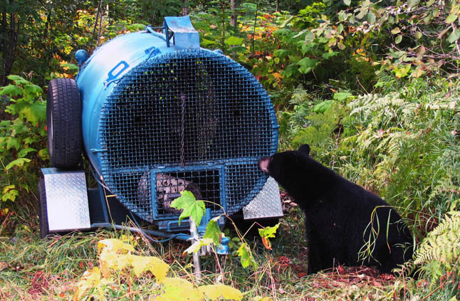 Last week, a bear broke into several homes in Arrow Heights, some of them twice. Bears in other parts of town have also been causing havoc — ripping siding off houses, breaking fences, tearing into garbage sheds, pushing on windows, and generally becoming very comfortable dining on our unmanaged foods. These bears have a history of getting into our non-natural food sources; they didn't just suddenly start breaking into homes, they came to it because we left garbage and other foods out as an invitation, says Bear Aware Coordinator Sue Davies.  Sue Davies photo