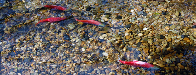 If you are, like me, enchanted by the annual spawning migration of ruby-red Kokanee to Bridge Creek you were doubtless dismayed when they disappeared from view in 2012 and 2013. Like me you may have thought their disappearance was due to environmental pressures or, perhaps, that landslide high above the creek on the slope of Mount Revelstoke. In fact, the culprit was not rooted in natural processes but human activity. David F. Rooney photo