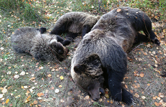 Two forlorn grizzly cubs grieve beside the body of their mother who was hit and killed by a vehicle near Invermere on Thanksgiving weekend. Greg Kruger photo