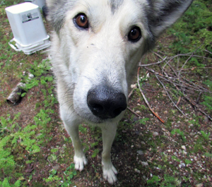 Talk about cold blooded. A man who was out with Husky cross pet named Ollie was horrified when a man with a rifle wantonly shot the dog on Wap Lake Road near Three Valley Gap then fled in a pickup truck. Photo courtesy of the Revelstoke RCMP
