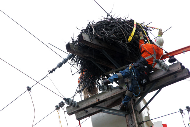 Linesman Al Moloney stretches as he prepares this massive osprey nest for its big move. BC Hydro photo