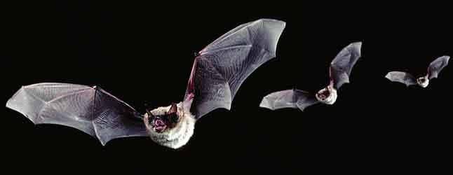 online-front-bats