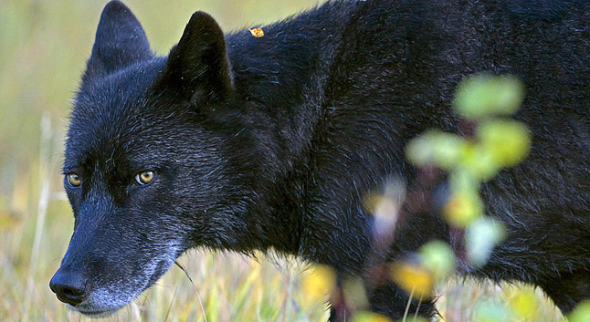 The Golden-based group, Wolf Awareness, is calling on wolf lovers to write to Premier Christy Clark, MLA Norm Macdonald and other provincial leaders in protest over a recently announced plan to shot wolves from helicopter. Photo courtesy of Wolf Awareness