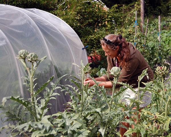Garlic isn't the only thing Sarah and Stu grow; there's also their bed of artichokes, here receiving some close attention from Jackie James. David F. Rooney photo