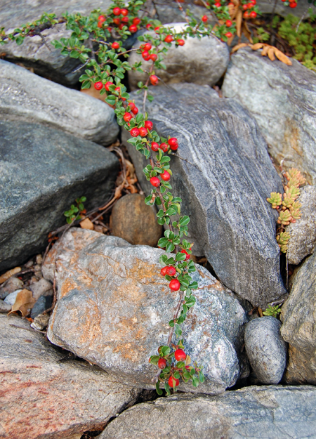 These brilliantly red berries lend a dash of vivid colour to the muted tones of Diane's carefully selected rocks. David F. Rooney photo