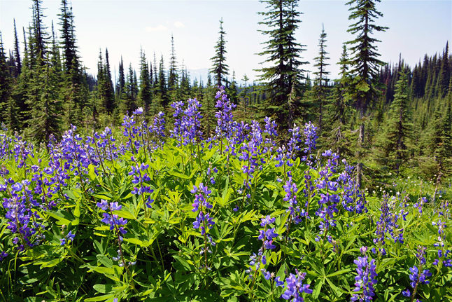 Beautil lupines almost seem to reflect the colour of the sky on Mount Revelstoke. Laura Bear photo courtesy of Parks Canada