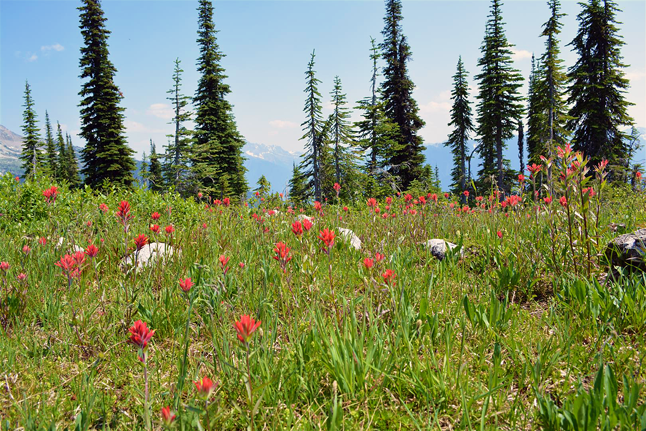 Here's a classic Revelstoke image: red Indian paint brushes dotting a meadow with Mount Begbie in the background. Laura Bear photo courtesy of Parks Canada